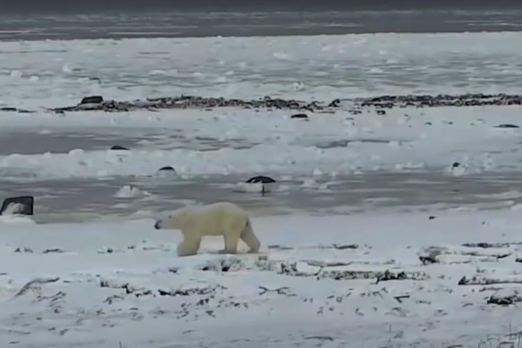 Polar Bear Live Stream